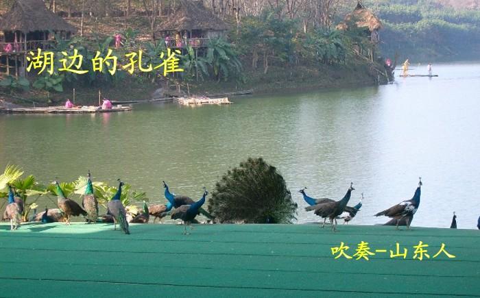 复习 湖边的孔雀